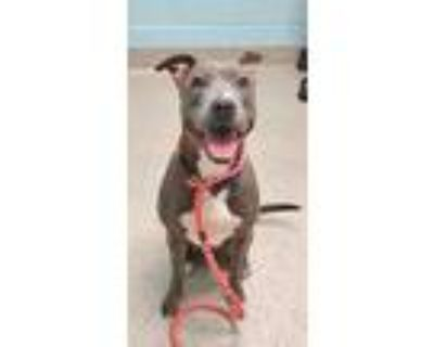Adopt Gypsy a Pit Bull Terrier, Mixed Breed