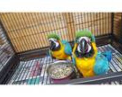 Bonded Pair Of Blue & Gold Macaw For Salevc -