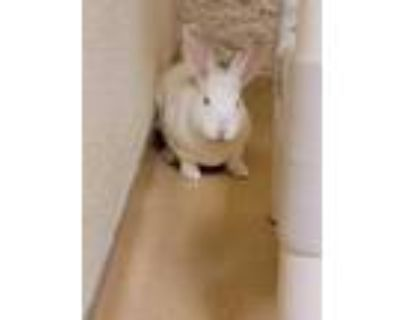 Adopt Magic a White Rex / Other/Unknown / Mixed rabbit in Longmont