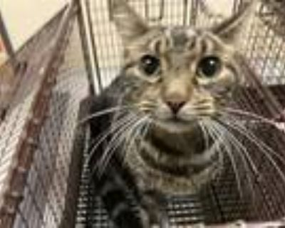 Adopt a Brown Tabby Domestic Shorthair / Mixed (short coat) cat in Modesto