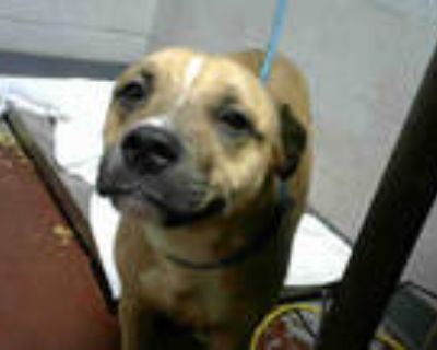 Adopt DUMPLING SOUP a Tan/Yellow/Fawn - with White American Pit Bull Terrier /