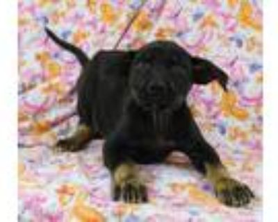 Adopt Quindel a Tan/Yellow/Fawn Boxer / Mixed dog in Morton Grove, IL (31473190)