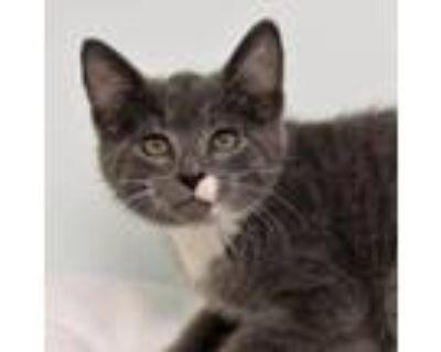 Adopt Mr. Darcy a Russian Blue