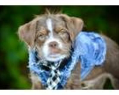 Adopt Chocolate Thunder a Wirehaired Terrier