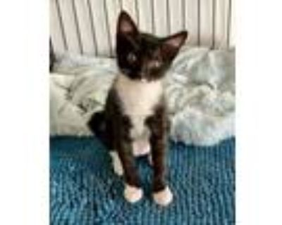 Adopt Klondike a Domestic Short Hair