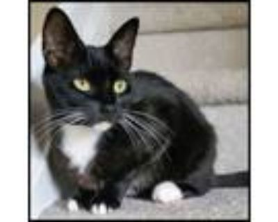 Adopt Jellicle a Domestic Short Hair, Tuxedo