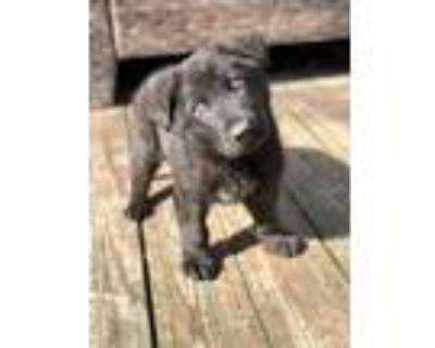 Adopt Patrick a Black German Shepherd Dog / Mixed dog in Windsor, VA (30579281)