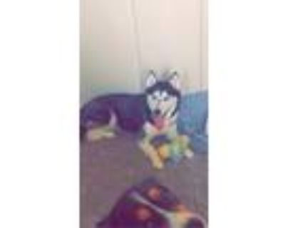Adopt Memphis a Black - with White Husky / Mixed dog in Columbia, MO (31489466)