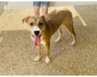 Adopt Ace a Tan/Yellow/Fawn - with White Catahoula Leopard Dog / Labrador