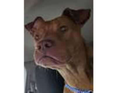 Teddy, Pit Bull Terrier For Adoption In Chiefland, Florida