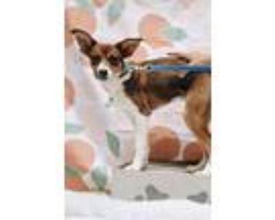 Adopt Iris a Beagle, Labrador Retriever