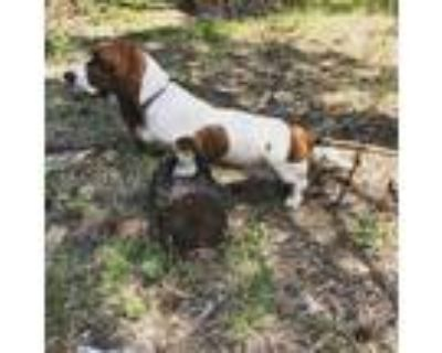 Adopt Grace a White - with Brown or Chocolate Basset Hound / Mixed dog in