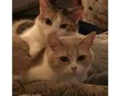 Adopt Brazil a Calico or Dilute Calico Domestic Shorthair (short coat) cat in
