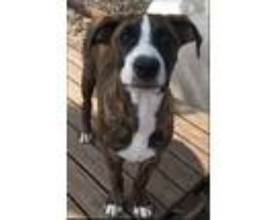 Adopt Brucie a Black - with Brown, Red, Golden, Orange or Chestnut Boxer / Mixed