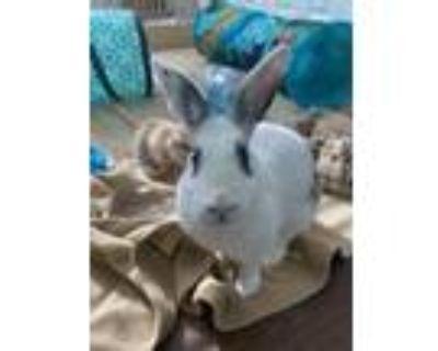 Adopt Liza a Bunny Rabbit, English Spot