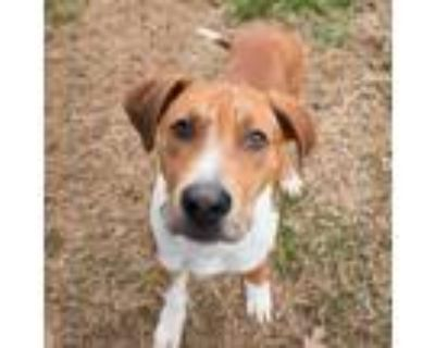 Adopt Joey a Tan/Yellow/Fawn - with White Mixed Breed (Large) / Mixed dog in