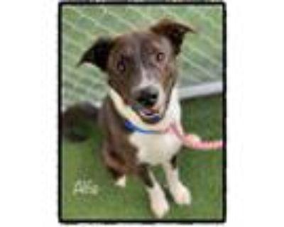 Adopt ALFIE a Brindle - with White Border Collie / Mixed dog in Marietta