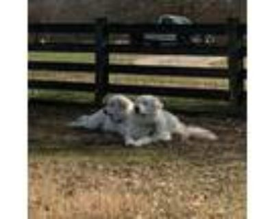 Adopt Merle and June Bug a Great Pyrenees