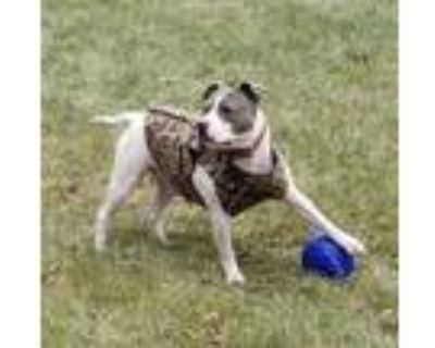Adopt Spud a White American Pit Bull Terrier / Mixed dog in Elkhorn