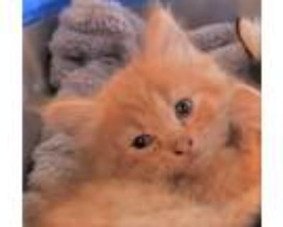Adopt Kitten needs foster home a Orange or Red (Mostly) Domestic Longhair /