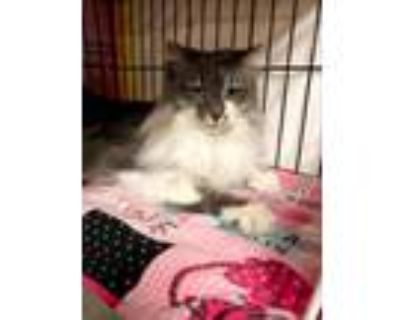 Adopt Marilyn a Gray or Blue (Mostly) Maine Coon / Mixed (long coat) cat in