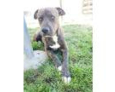 Adopt *BRITTNEY a Brindle American Pit Bull Terrier / Mixed dog in Bakersfield