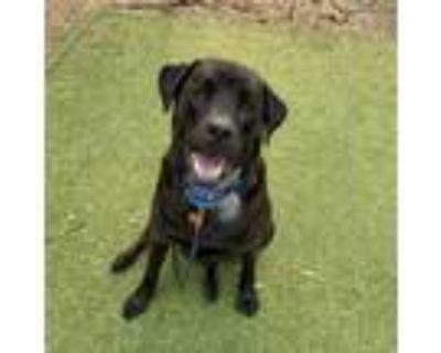 Adopt Augie a Labrador Retriever, Rottweiler