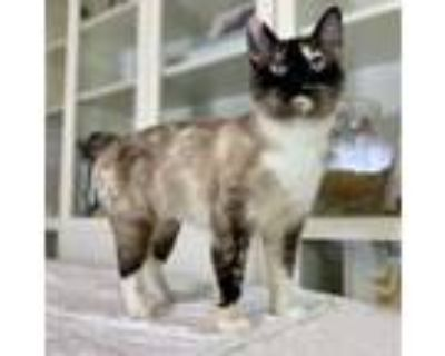 Adopt Penzi a Domestic Short Hair, Siamese
