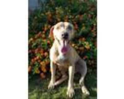 Adopt Spot a Tan/Yellow/Fawn - with White American Pit Bull Terrier / Mixed dog