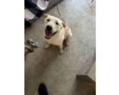 Adopt Nico a Tan/Yellow/Fawn - with White Labrador Retriever / Australian