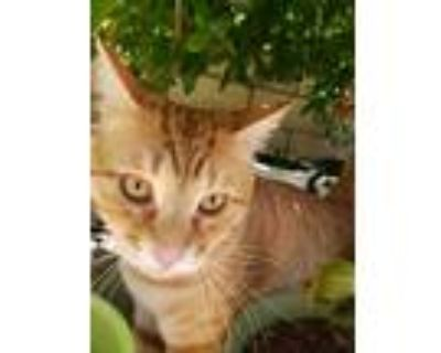 Adopt Simba Ryatt a Tiger Striped American Shorthair / Mixed (medium coat) cat
