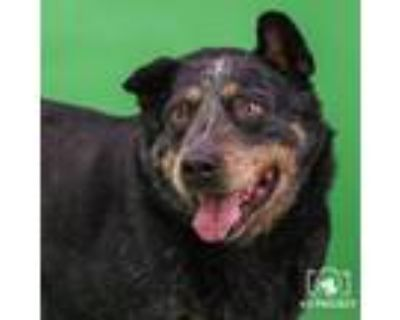 Adopt Rocky a Australian Cattle Dog / Blue Heeler, Mixed Breed