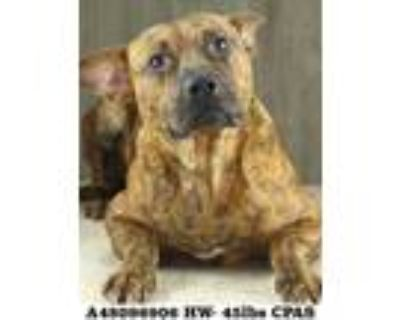 Adopt BoomBoom a Brindle American Pit Bull Terrier / Mixed dog in Shreveport