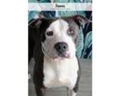 Franny, American Staffordshire Terrier For Adoption In Denver, Colorado