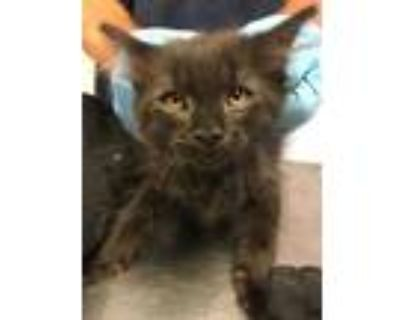 Adopt 48032903 a All Black Domestic Longhair / Domestic Shorthair / Mixed cat in