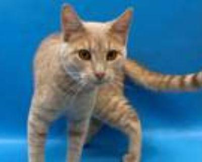 Adopt 48293690 a Tan or Fawn Domestic Shorthair / Domestic Shorthair / Mixed cat
