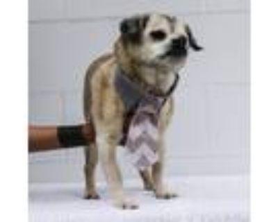 Adopt Rollo a Pug / Beagle / Mixed dog in Gardena, CA (30221524)