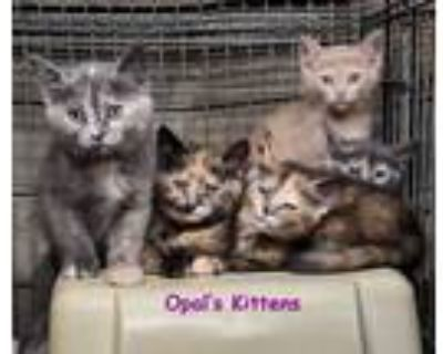Adopt Opal's Kittens a Dilute Tortoiseshell, Dilute Calico