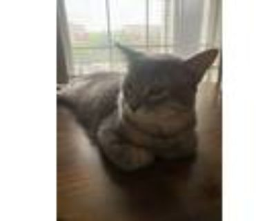 Adopt Diamond a Gray or Blue (Mostly) Domestic Longhair (long coat) cat in