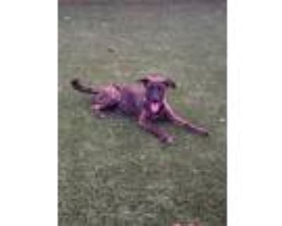 Adopt Vista a Brindle Shepherd (Unknown Type) / Mixed dog in Gilbert