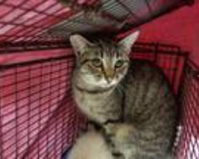 Adopt Daisy a Domestic Shorthair / Mixed cat in Spokane Valley, WA (30823222)