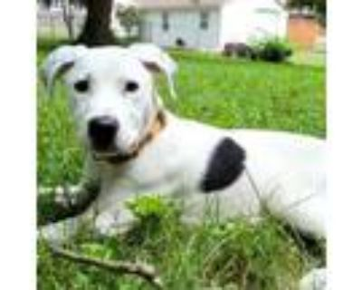 Adopt Russell a White - with Tan, Yellow or Fawn Pointer / Mixed Breed (Large) /
