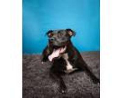 Adopt Mac a Pit Bull Terrier