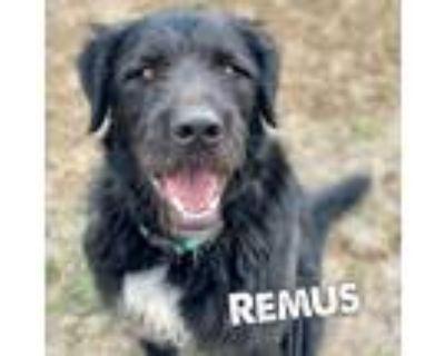 Adopt Remus a Black Old English Sheepdog / Labrador Retriever / Mixed dog in