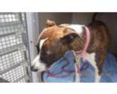 Adopt TOPANGA a Brindle American Pit Bull Terrier / Mixed dog in Indianapolis
