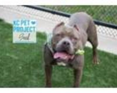 Adopt Seal a Pit Bull Terrier, Mixed Breed
