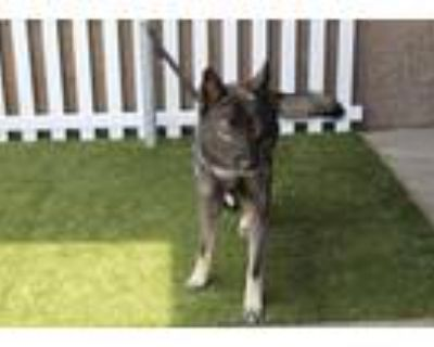 Adopt a Black - with White Husky / Mixed dog in Modesto, CA (32005440)