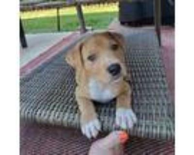 Adopt Cadpig a Tan/Yellow/Fawn Mastiff / Mixed dog in Shawnee, KS (31596150)