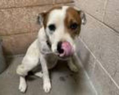 Adopt FLYNN a Australian Cattle Dog / Blue Heeler, Mixed Breed