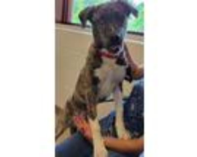Adopt SHAGGY a Brindle - with White Boxer / Husky / Mixed dog in Derwood